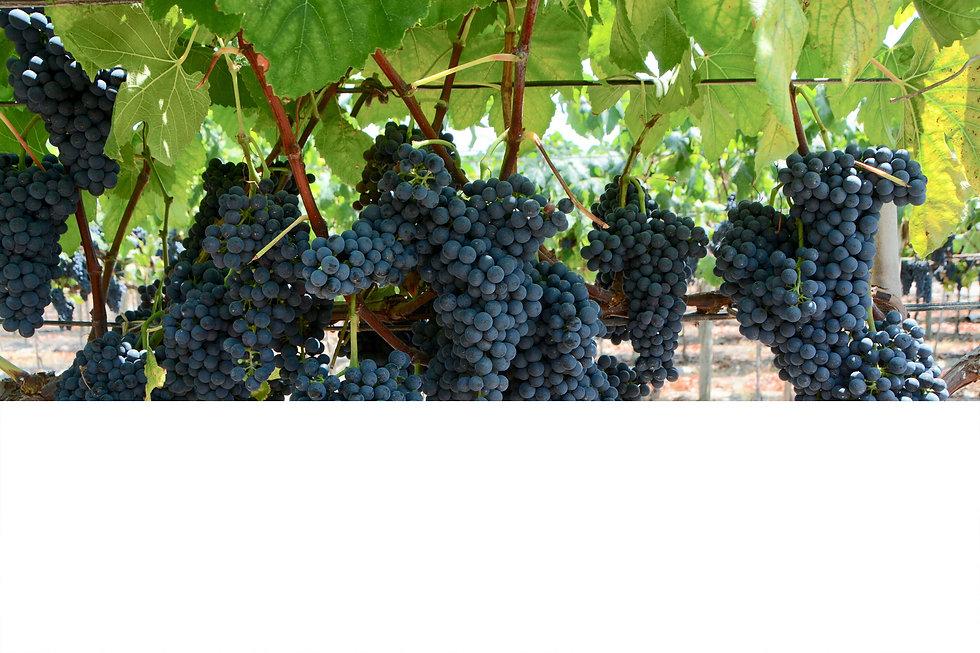 pisco 100 grapes