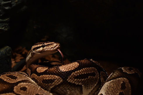ball-python-3235381_1920.jpg