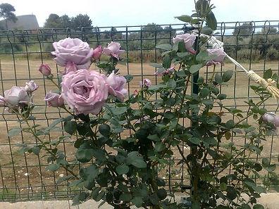 הקמת גינה כפר סבא, הקמת גינה רעננה, ורדים