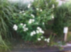 הקמת גינה נתניה, הקמת גינה בשרון, ורדים