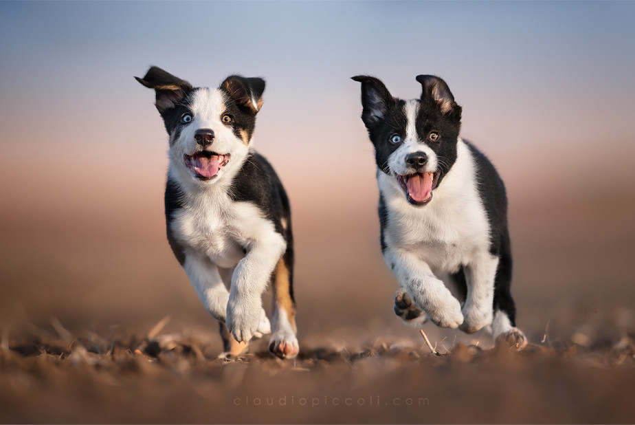 dog photography two border collie puppies with heterochromia running towards the camera
