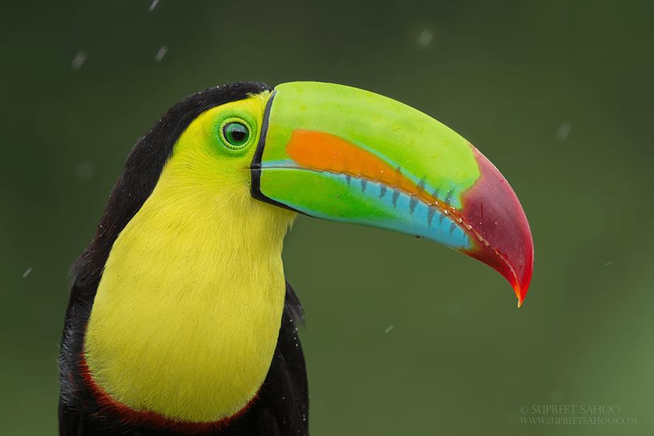 portrait of tucan under the rain