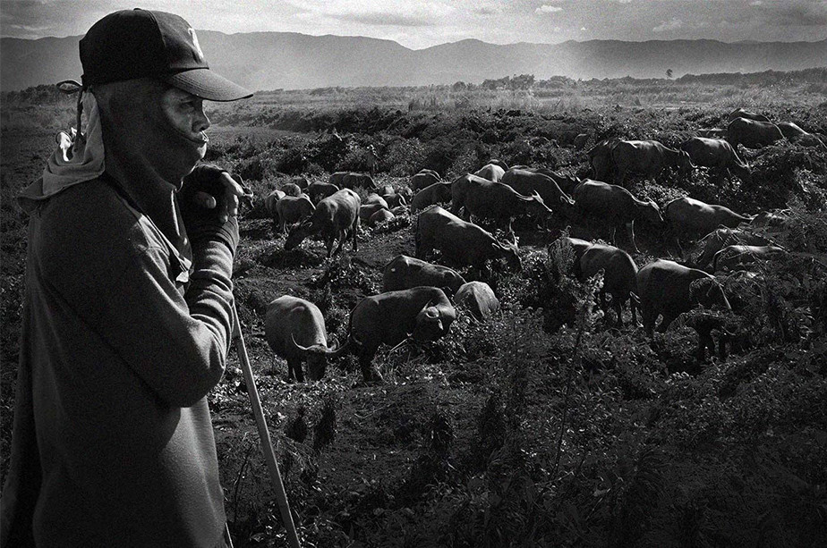 documentary photography black and white man watching over ox in field