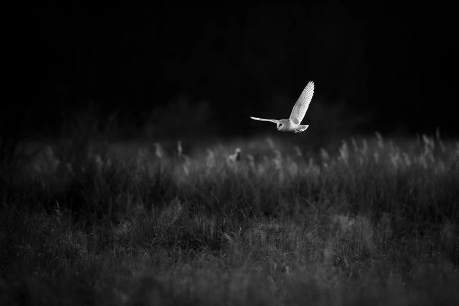 white owl flying over field