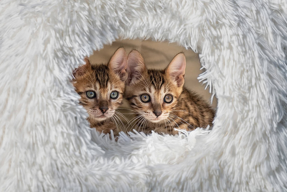 pet photography of cute kittens hiding in cat tree