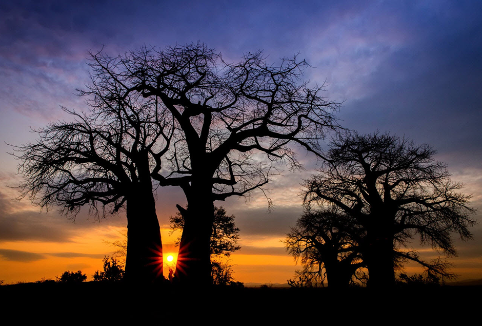 sun setting between baobab trees