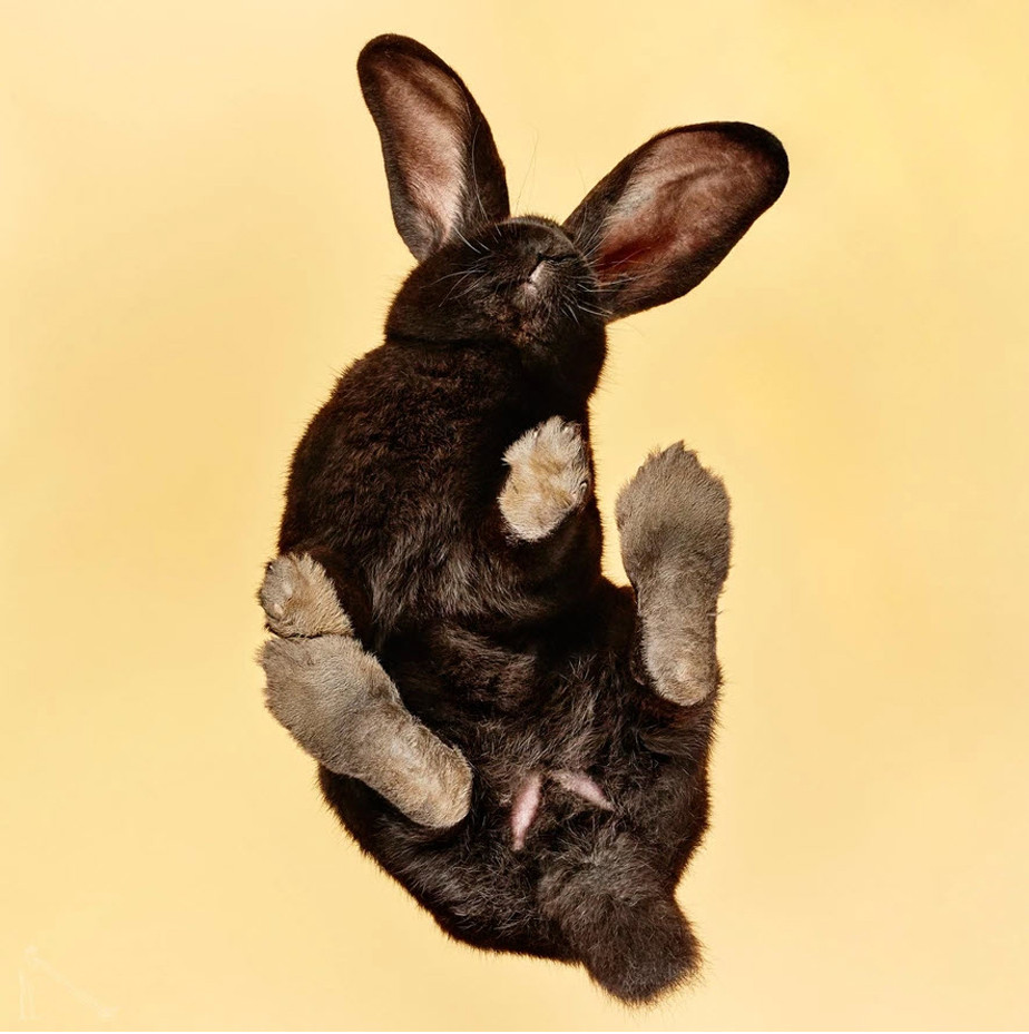 cute pet picture of black bunny seen from below