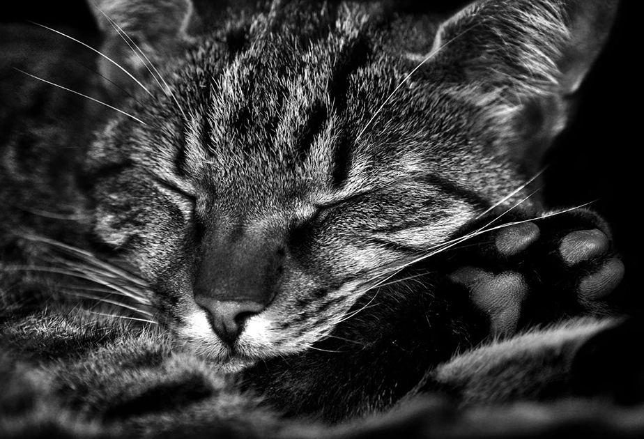 black and white sleeping cat photography close-up