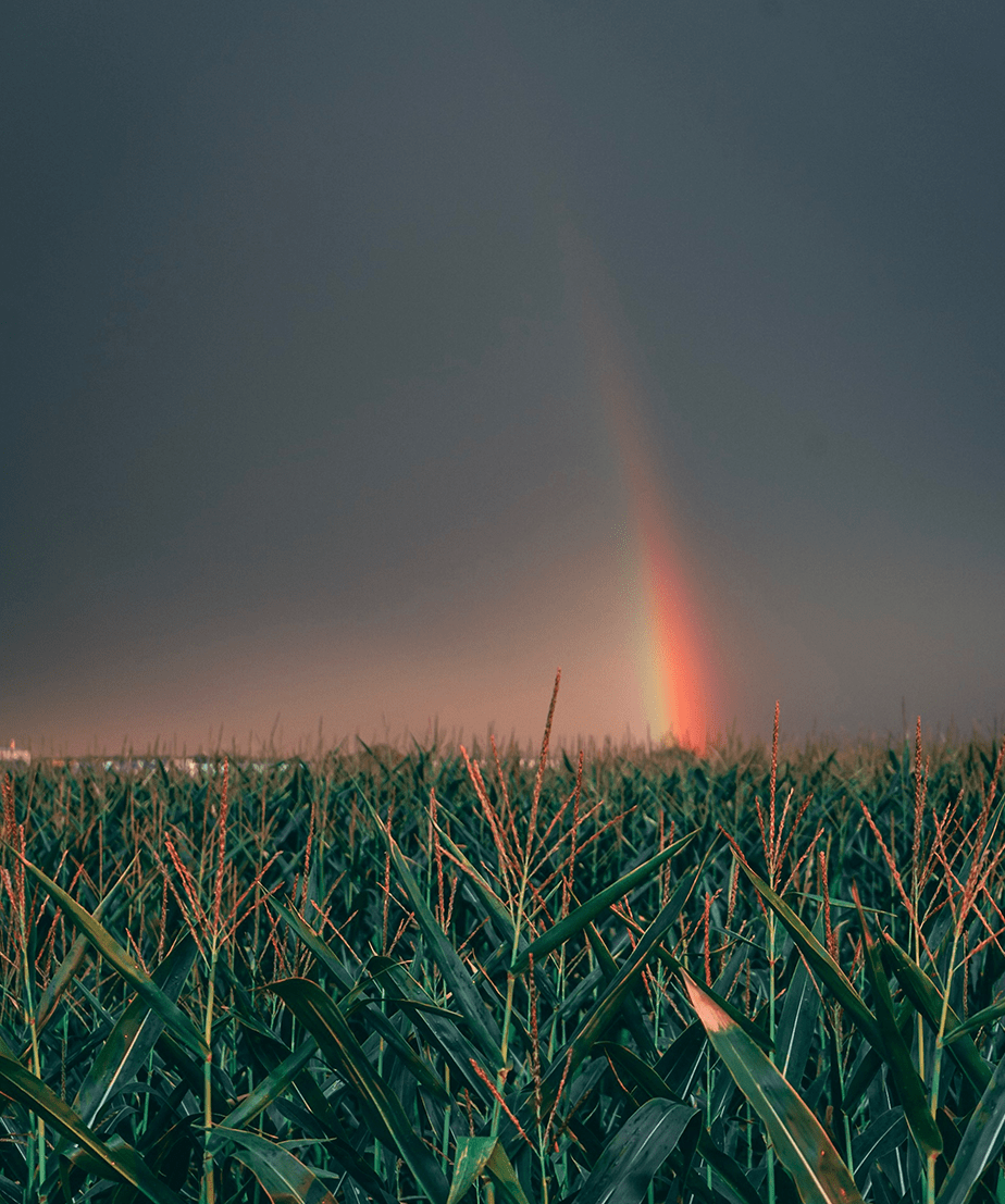 rainbow over plant field