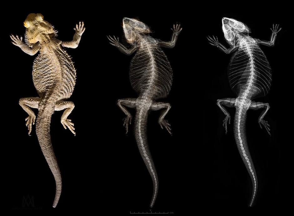 scientific photographer reptile x-ray