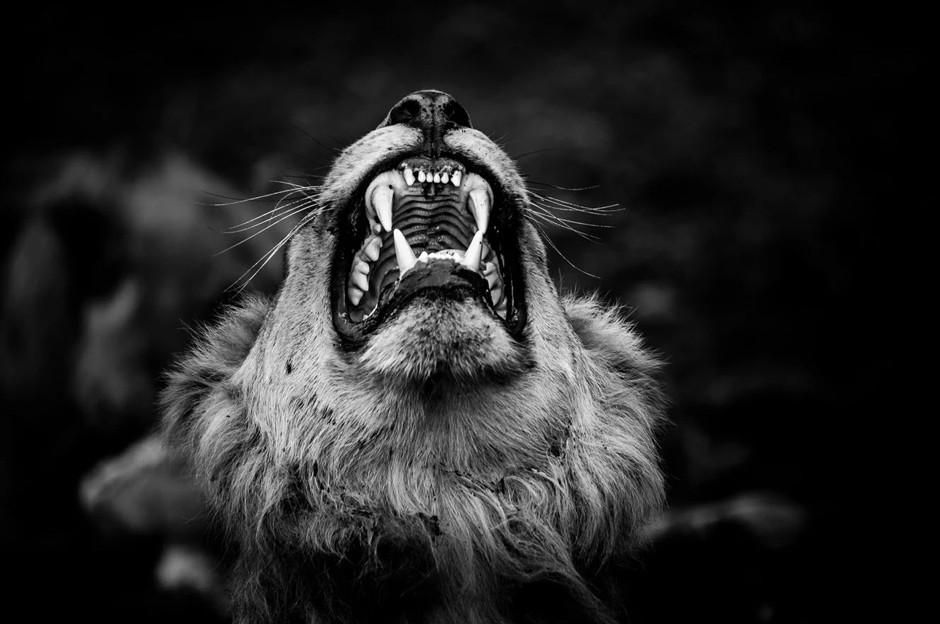 portait of lion roaring