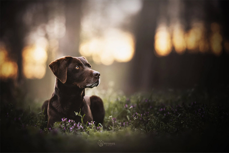 pet photography old chocolate labrador dog laying on flowers in the forest