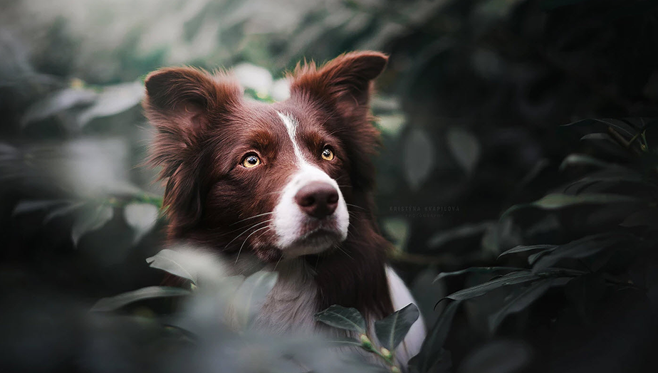 portrait of brown and white border collie sitting on a bush
