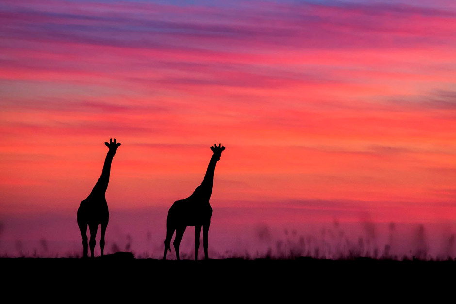 wildlife photography silhouetted two giraffes standing on a field during colorful sunset