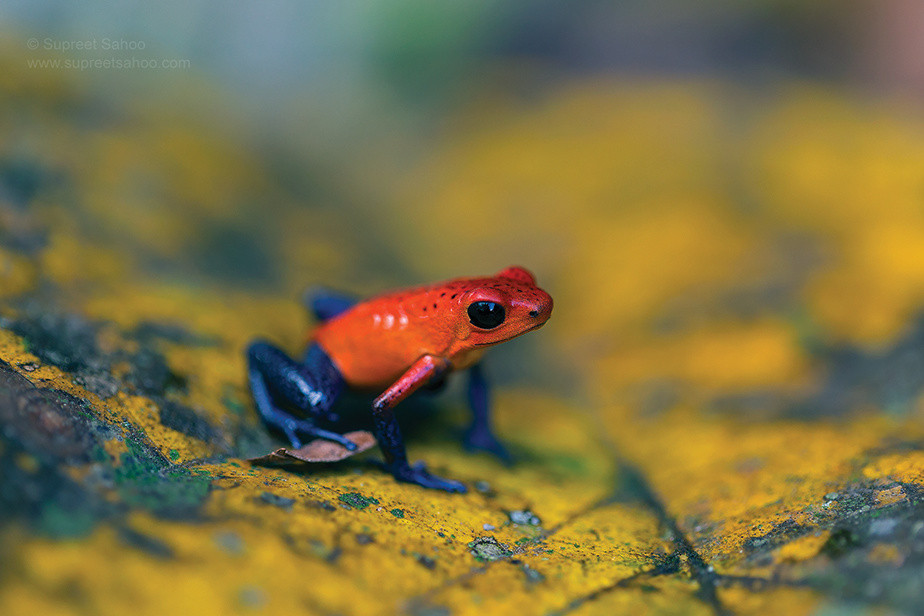 red and blue small frog standing on a yellow leaf