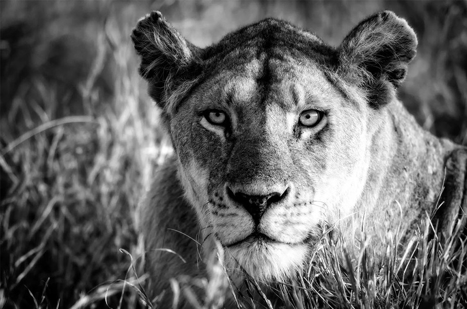 wildlife photography black and white portrait of lioness looking towards the camera