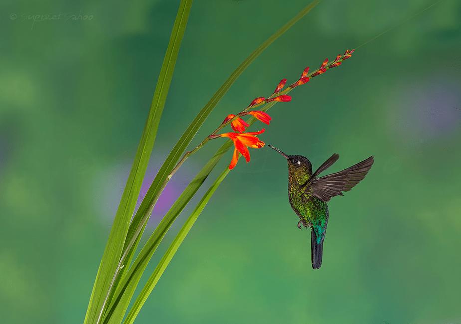 small bird drinking nectar mid flight