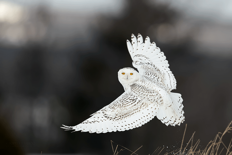 white owl looking at the camera mid flight
