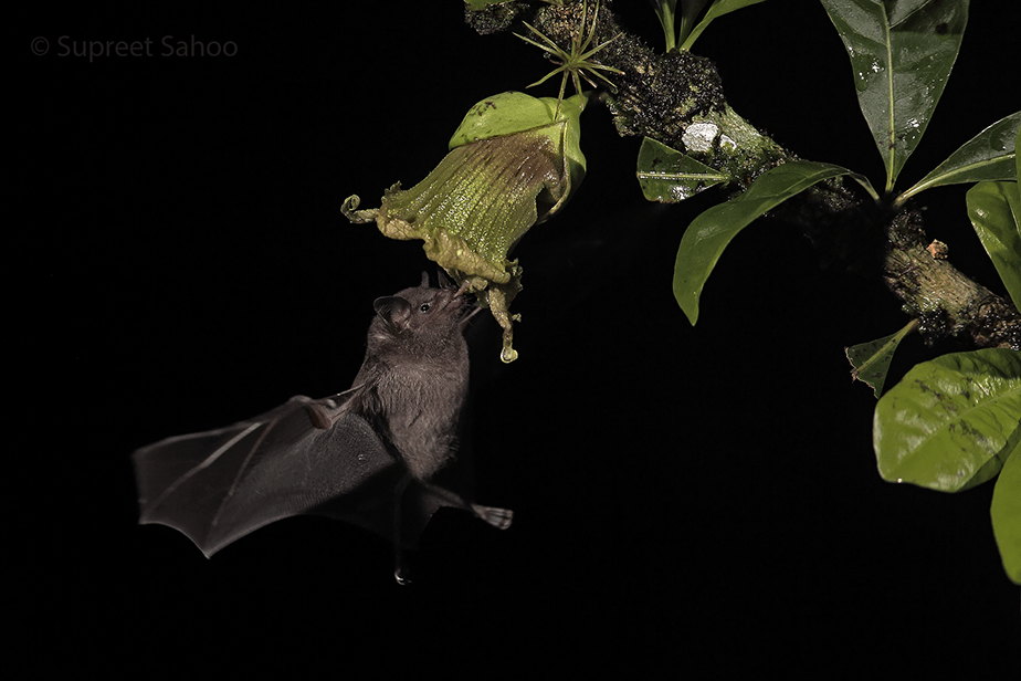 bat drinking from a flower