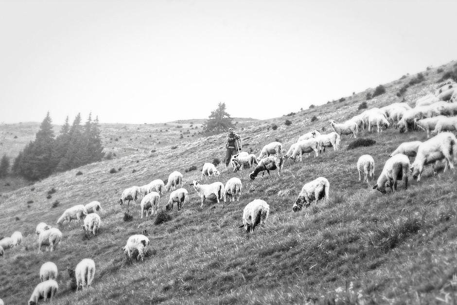 shepherd standing among sheep in mountain field