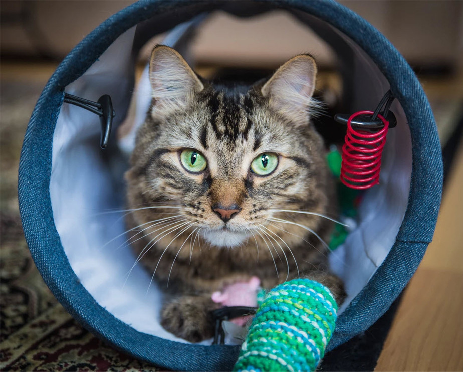 pet photography tabby cat with green eyes playing with toys inside fabric tunnel