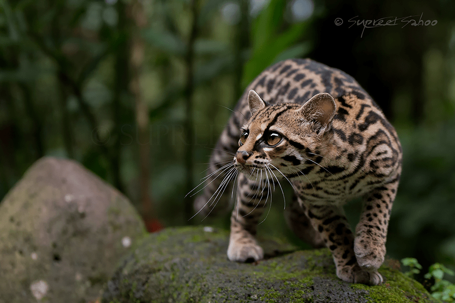 small feline standing on a rock in the forest