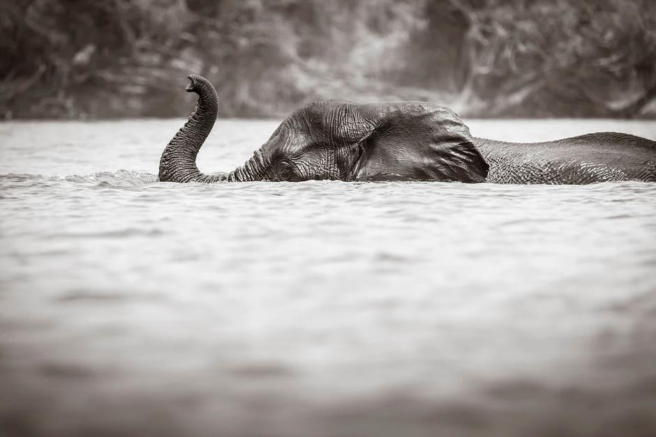 elephant swimming across a river