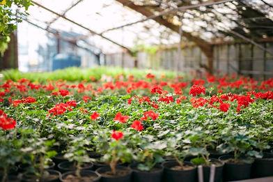 Blumen Luger | Grein | Österreich | Blumenladen | Gärtnerei | Pelargonien