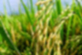 arroz-oryza sativa2.jpg