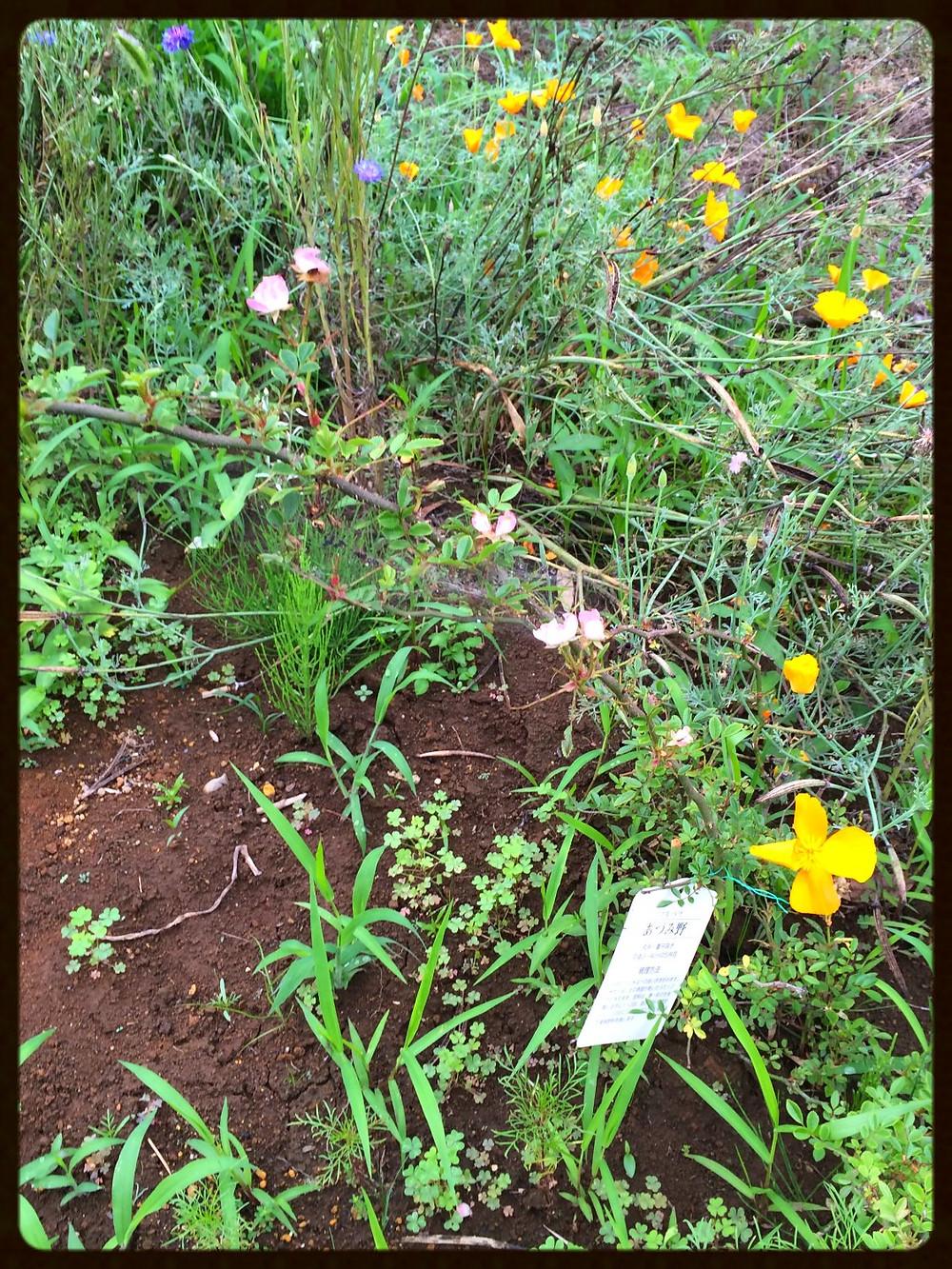 あずみ野というバラの花、3センチほどの薄いピンクの花が