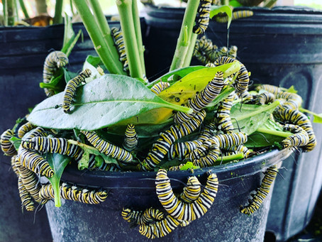 The Monarchs are Migrating!
