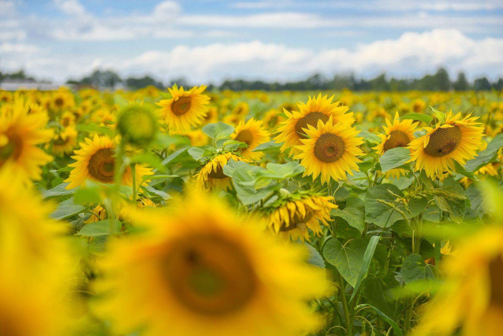 Sonnenblume 3