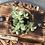 Thumbnail: סוקולנט באדנית עץ