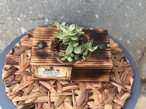סוקולנט באדנית עץ