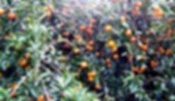 Satsuma Orchard