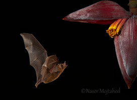 Orange Nectar Bat