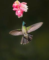 Tamalanca humingbird
