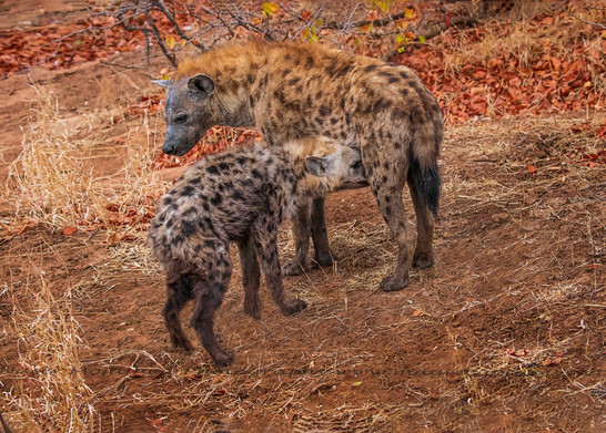 Hyena Cub suckling mother