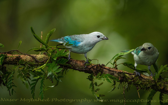 Blue Gey Tanager