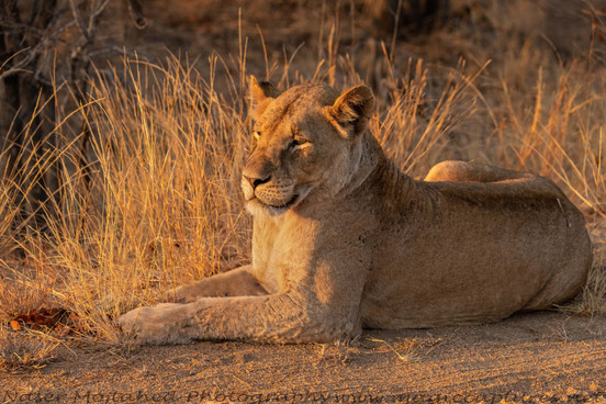 Lion Resting in Sunset