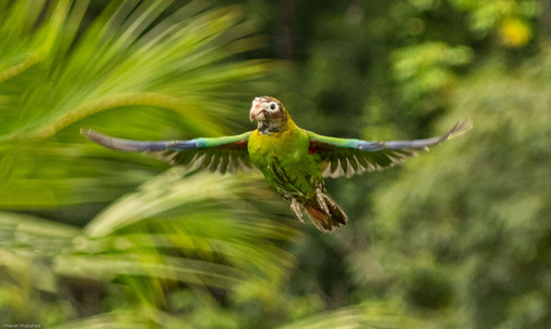 Brown- Hooded Parrot