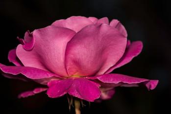 Midnigth Rose