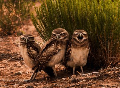 Burrowing Owls,