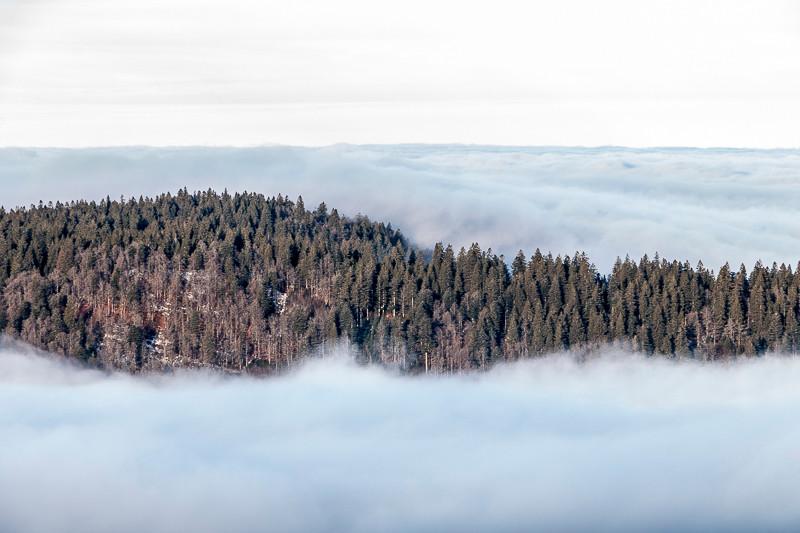 forêt de sapins qui emerge d'une mer de nuages
