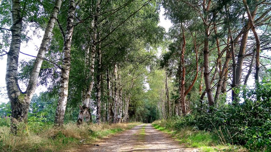 chemin bordé de bouleaux et d'épicéas