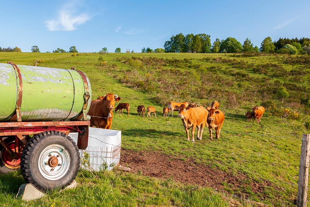 vaches brunes dans un pré verdoyant