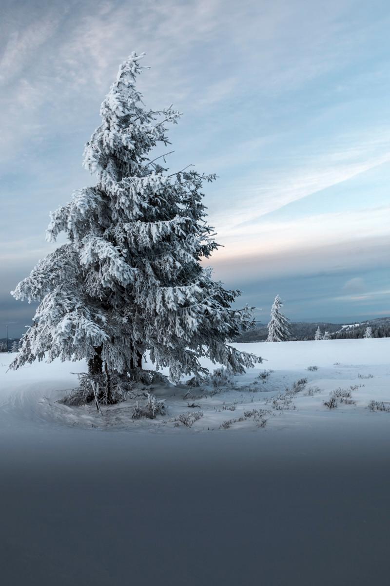 sapin gelé et prairie enneigé sous un ciel voilé