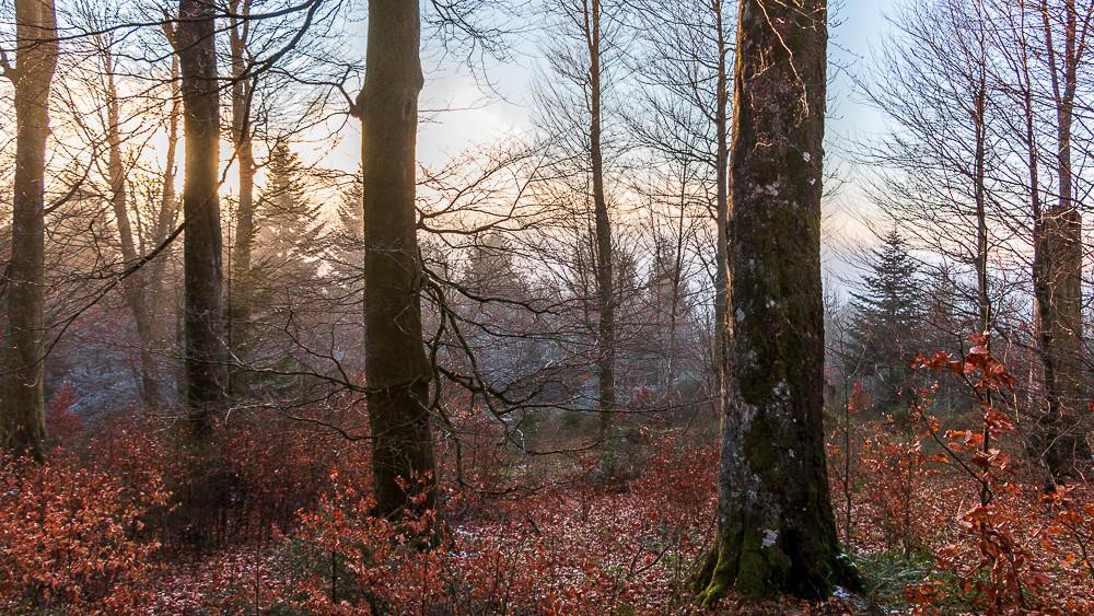 une forêt d'hiver à l'aube en sortant du brouillard