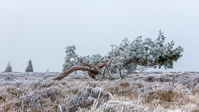 pins solitaire couché dans un champs