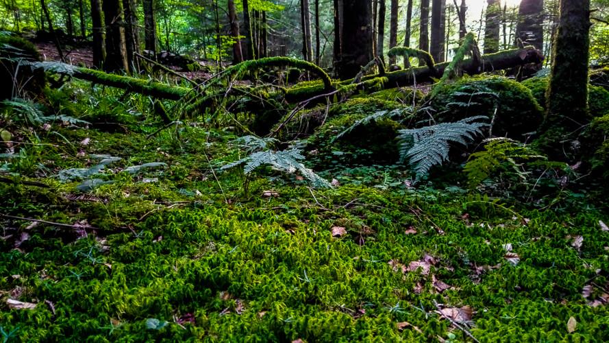 tapis de mousse dans la forêt